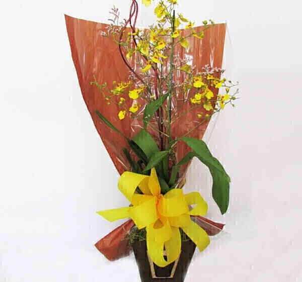 Orquídea Chuva de Ouro..