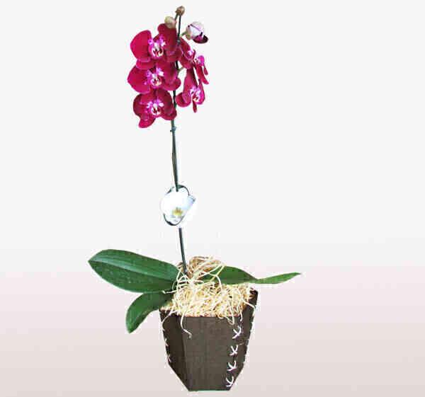 Orquídea Phalaenopsis 1..
