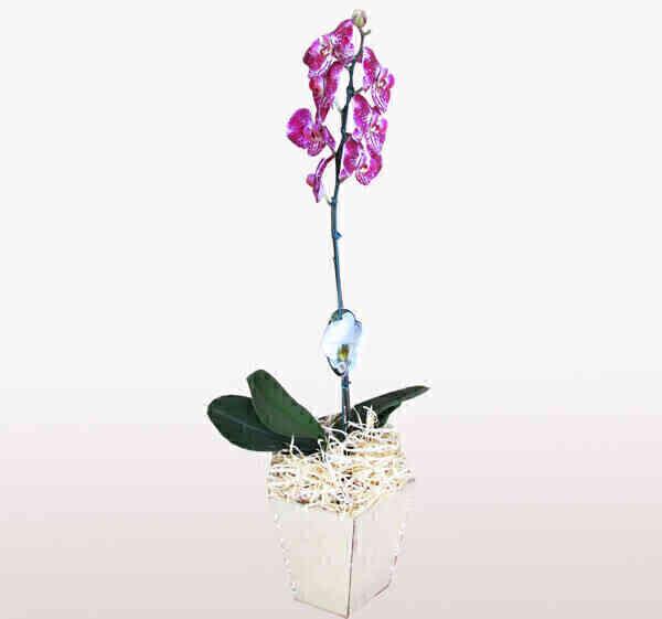 Orquídea Phalaenopsis 3..