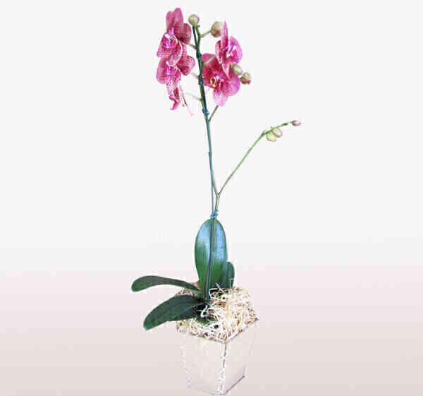 Orquídea Phalaenopsis 4..