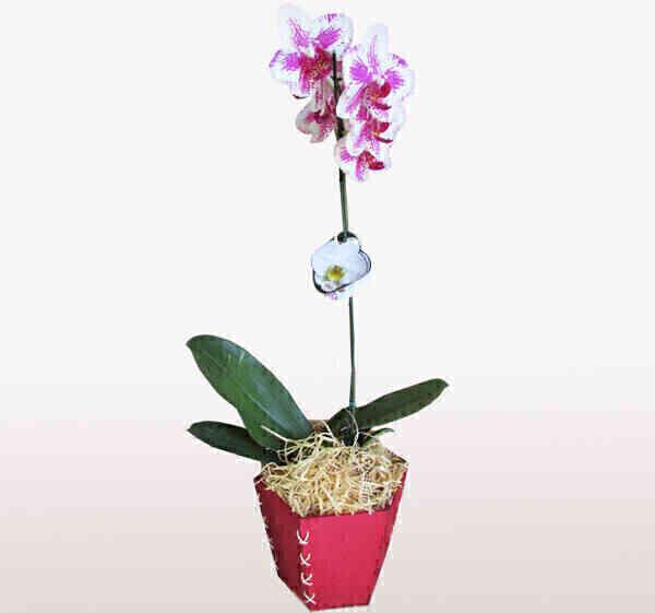Orquídea Phalaenopsis 5..