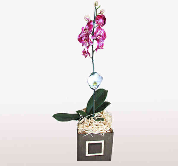 Orquídea Phalaenopsis 6..