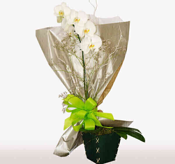 Orquídea Phalaenopsis laç..