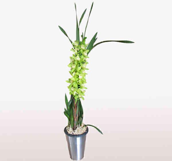 Orquídea Cymbidium verde ..