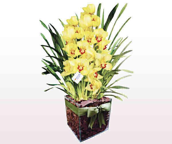 Vaso de orquídea Cynbidiu..