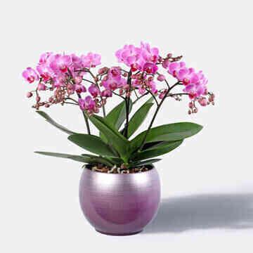 Orchidee-Grand-Magnifique..