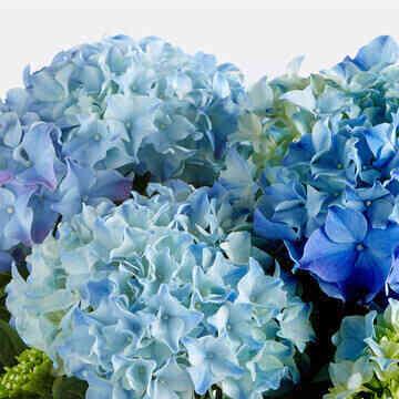 Hortensie-in-Blau-mit-Ker..
