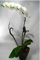 Orquidea Phalaenopsis Bra..