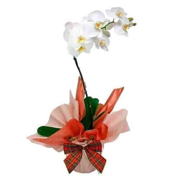 Orquídea Phalaenopsis com..